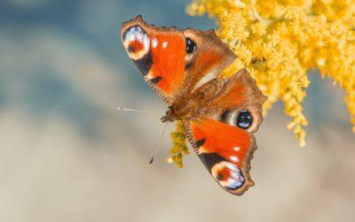 孔雀蝴蝶、蝴蝶、关闭