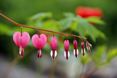 流血的心、花