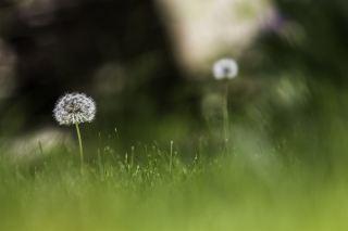 蒲公英、绿色、草甸