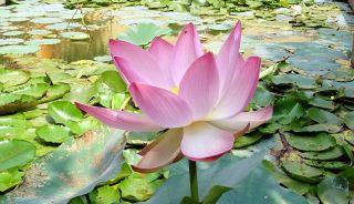 莲花、花、粉红色