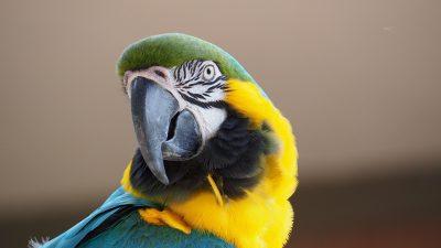 金刚鹦鹉、蓝色、黄色
