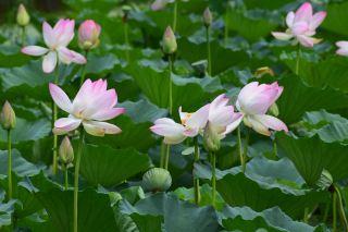 鲜花、莲花、池