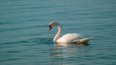 天鹅、鸟、水