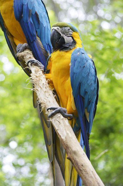 鹦鹉、金刚鹦鹉、蓝色