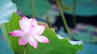 花、莲花、粉红色