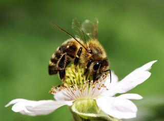 蜜蜂采花粉