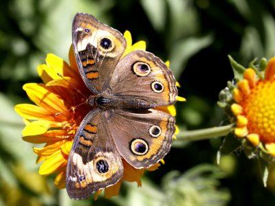 蝴蝶、昆虫、动物