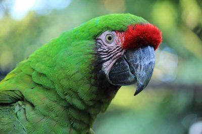 鹦鹉、金刚鹦鹉、红色