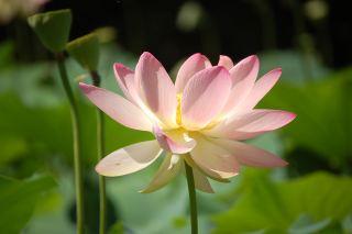 莲花、花园