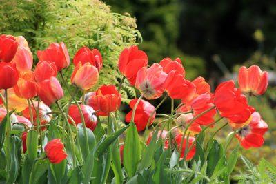 郁金香、春、鲜花
