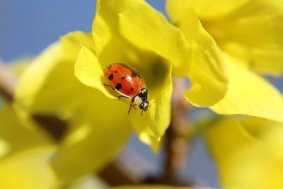 黄色花朵上的瓢虫