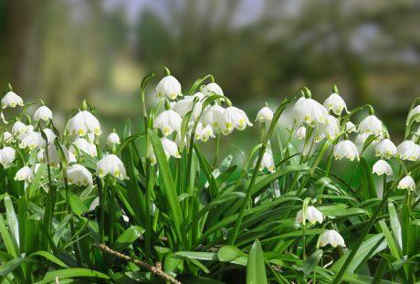 白色的夏雪片莲花