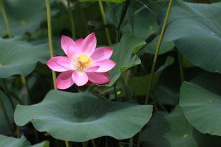 植物、莲花、水生