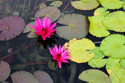 莲花、睡莲、池塘