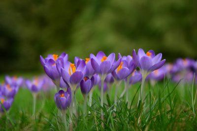 藏红花、春天的花朵、Frühlingsanfang