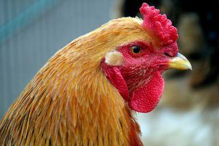 一只母鸡的头部特写