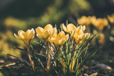 藏红花、春天、番红花