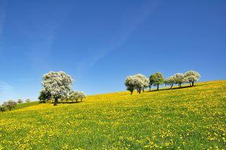蒲公英草花海上果树开花的春天风景