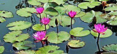 池、睡莲、莲花
