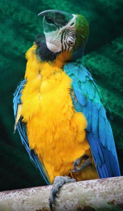 蓝色和黄色的金刚鹦鹉、鸟、自然
