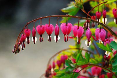 流血的心、野花、春天的花朵