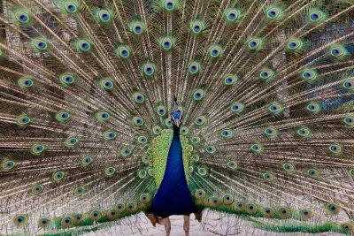 孔雀、鸟、动物