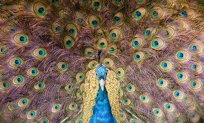 孔雀、羽毛