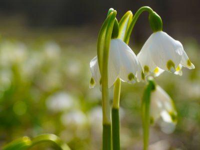 雪钟花花朵图片