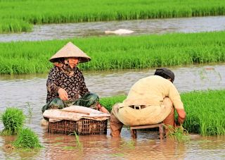 春天稻田里插秧的农民