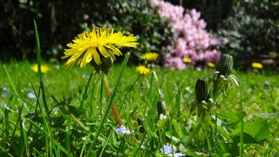 草地、蒲公英、花园