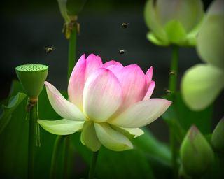 绿色、蜜蜂、莲花