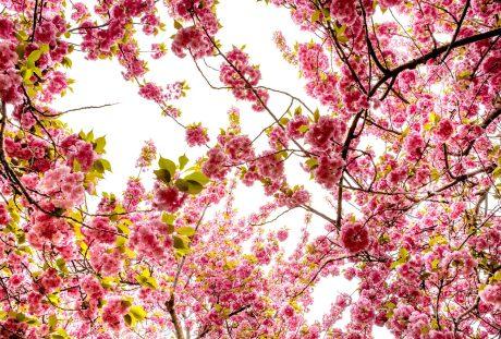 樱花背景图