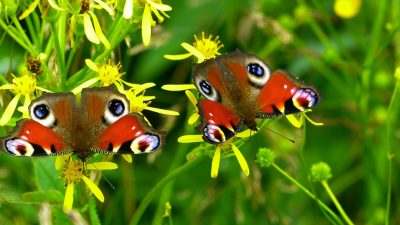 Inachis、Io、蝴蝶、孔雀蝴蝶