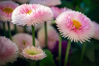 粉色的雏菊