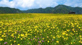 黄色的蒲公英花花海