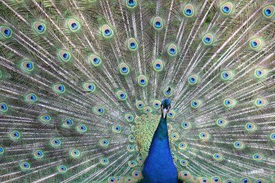 孔雀、羽毛、鸟