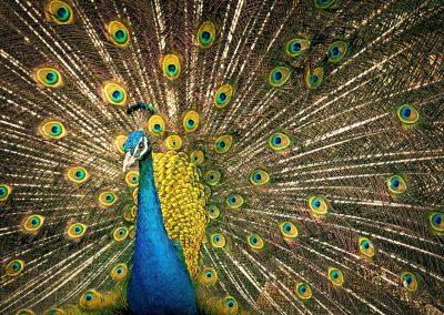 孔雀、羽毛、色彩缤纷