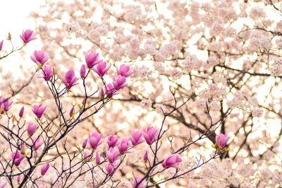 日本、景观、春天
