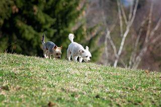 草地上的两只小狗
