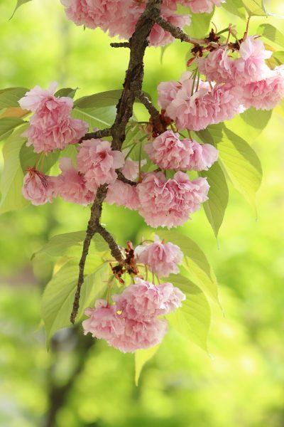 一枝樱花树上的樱花