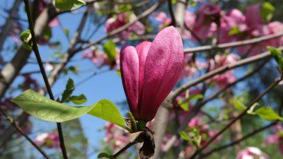 日本玉兰、花园、春天