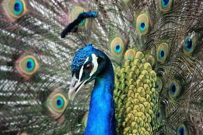 鸟、孔雀、动物
