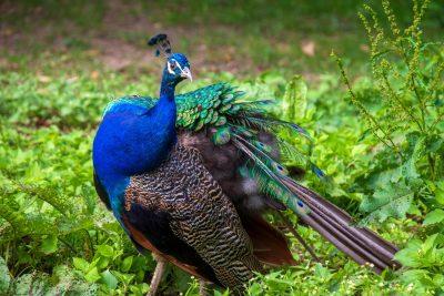 孔雀、丰富多彩、动物