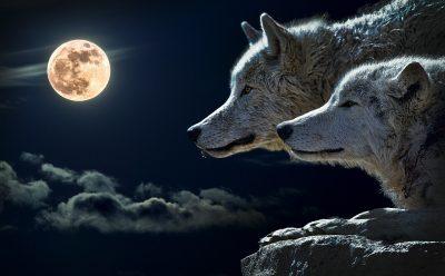 狼、扭矩狼、月亮