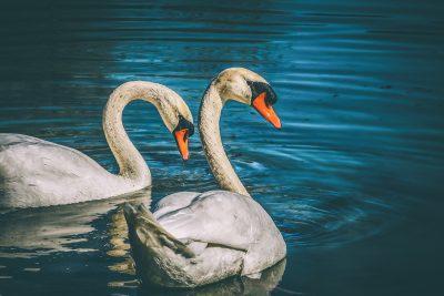 天鹅、动物、水禽