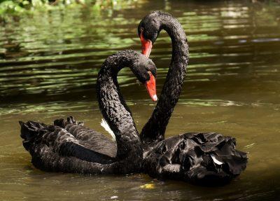 天鹅、黑色、对