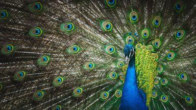 孔雀、动物、鸟