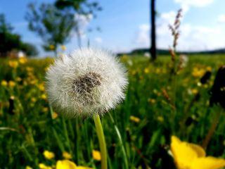 蒲公英、草地、绿色