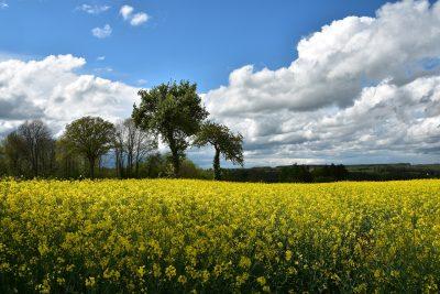 春天的油菜花与树的图片