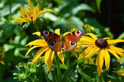 花、松果菊、蝴蝶